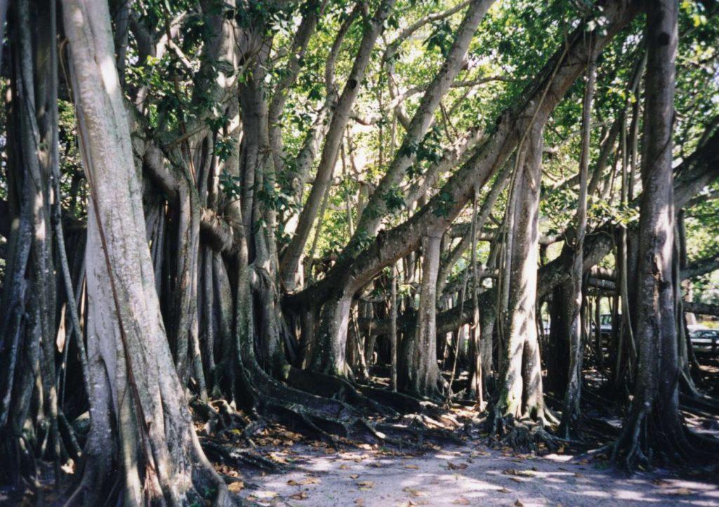 Baniano del Jardín Botánico de Calcuta