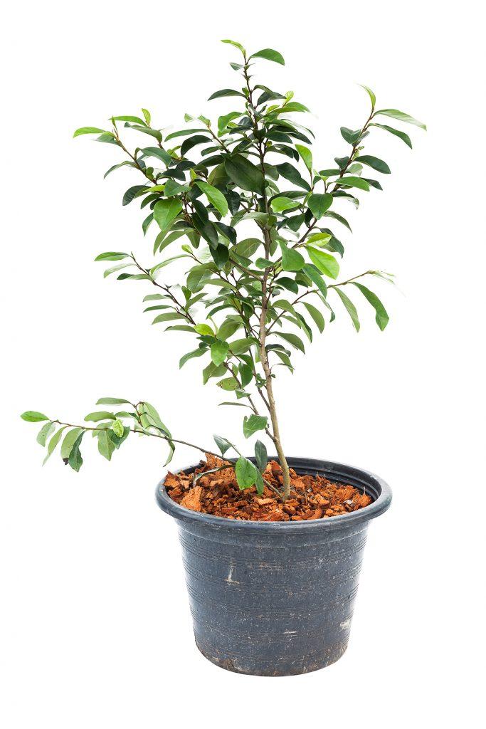 cultivar baniano
