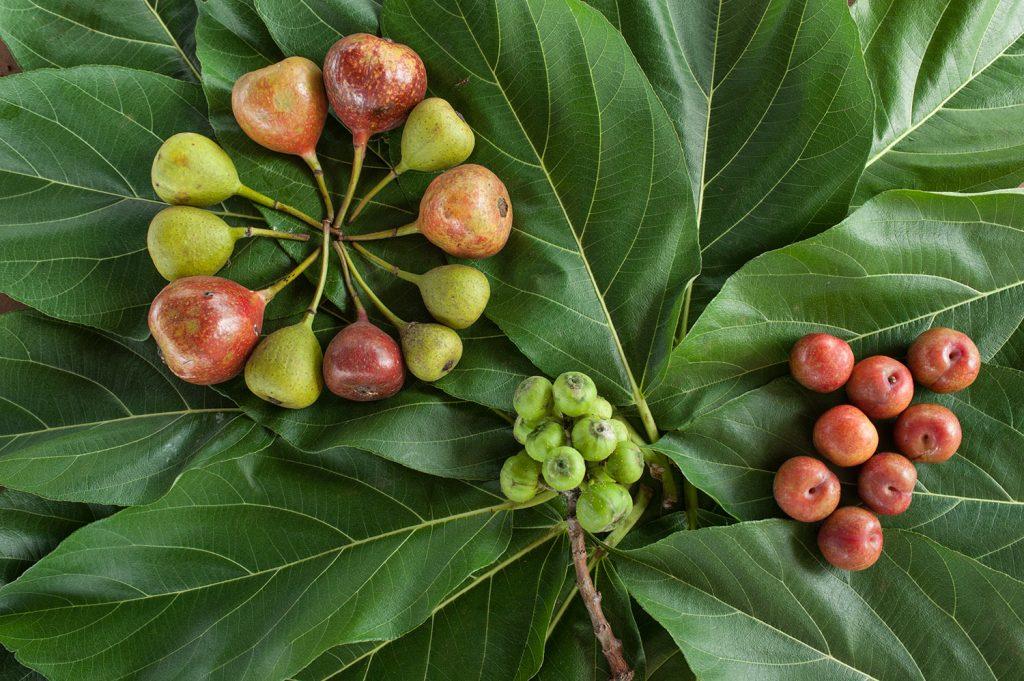 fruto baniano